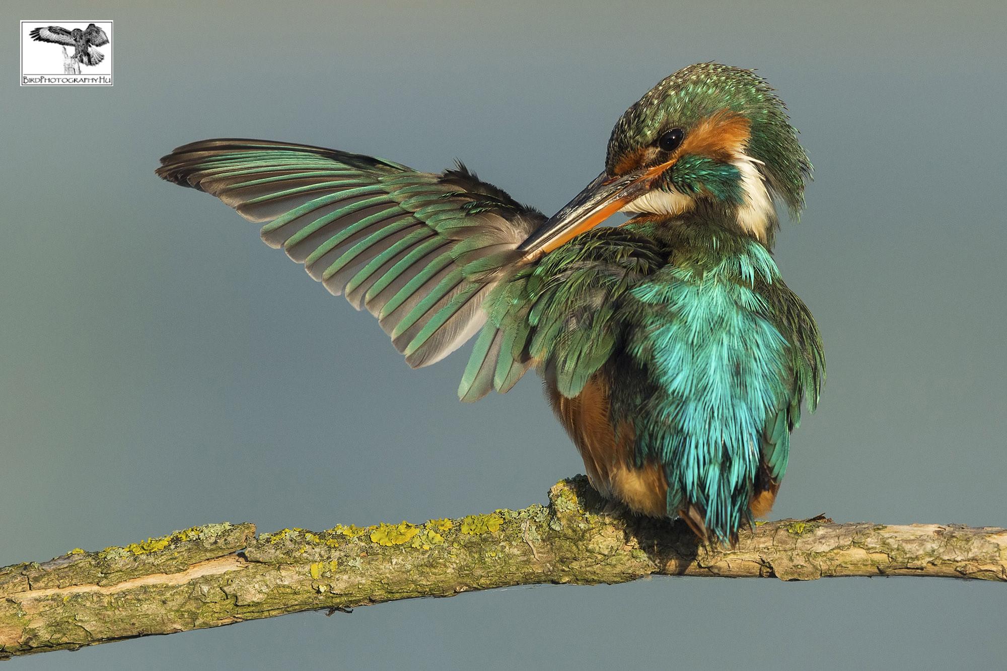 Jégmadár, Common Kingfisher, Eisvogel, Alcedo atthis