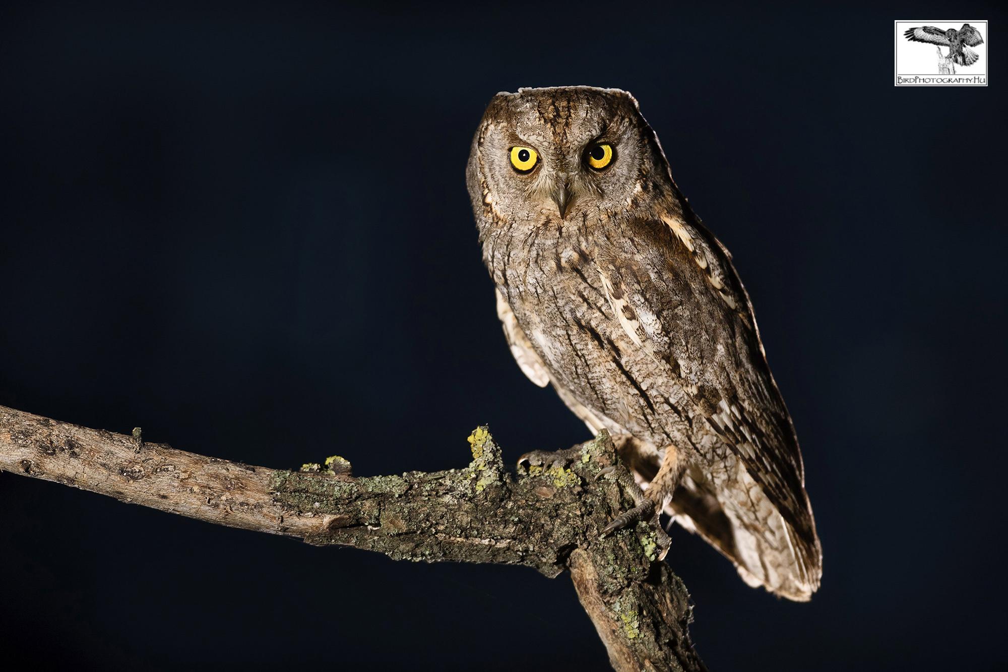 Füleskuvik, Eurasian Scops Owl, Zwergohreule, Otus scops