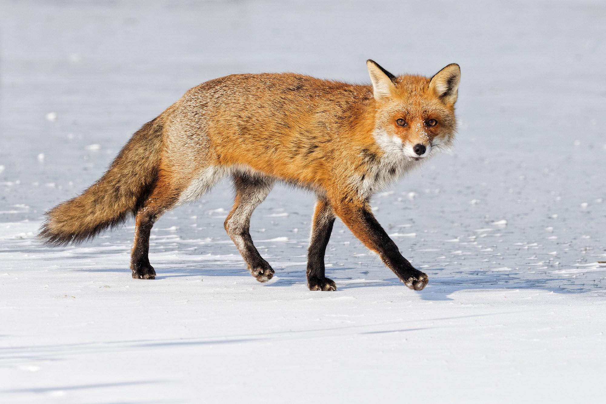 Vörös róka, Red Fox, Rotfuchs, Vulpes vulpes