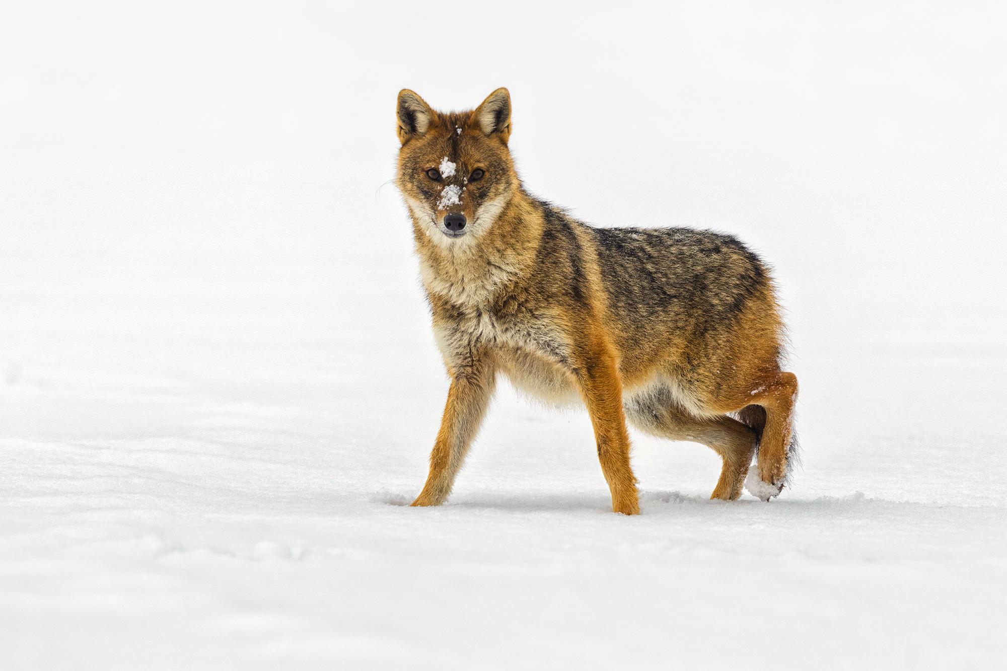Aranysakál, Golden jackal, Goldschakal, Canis aureus