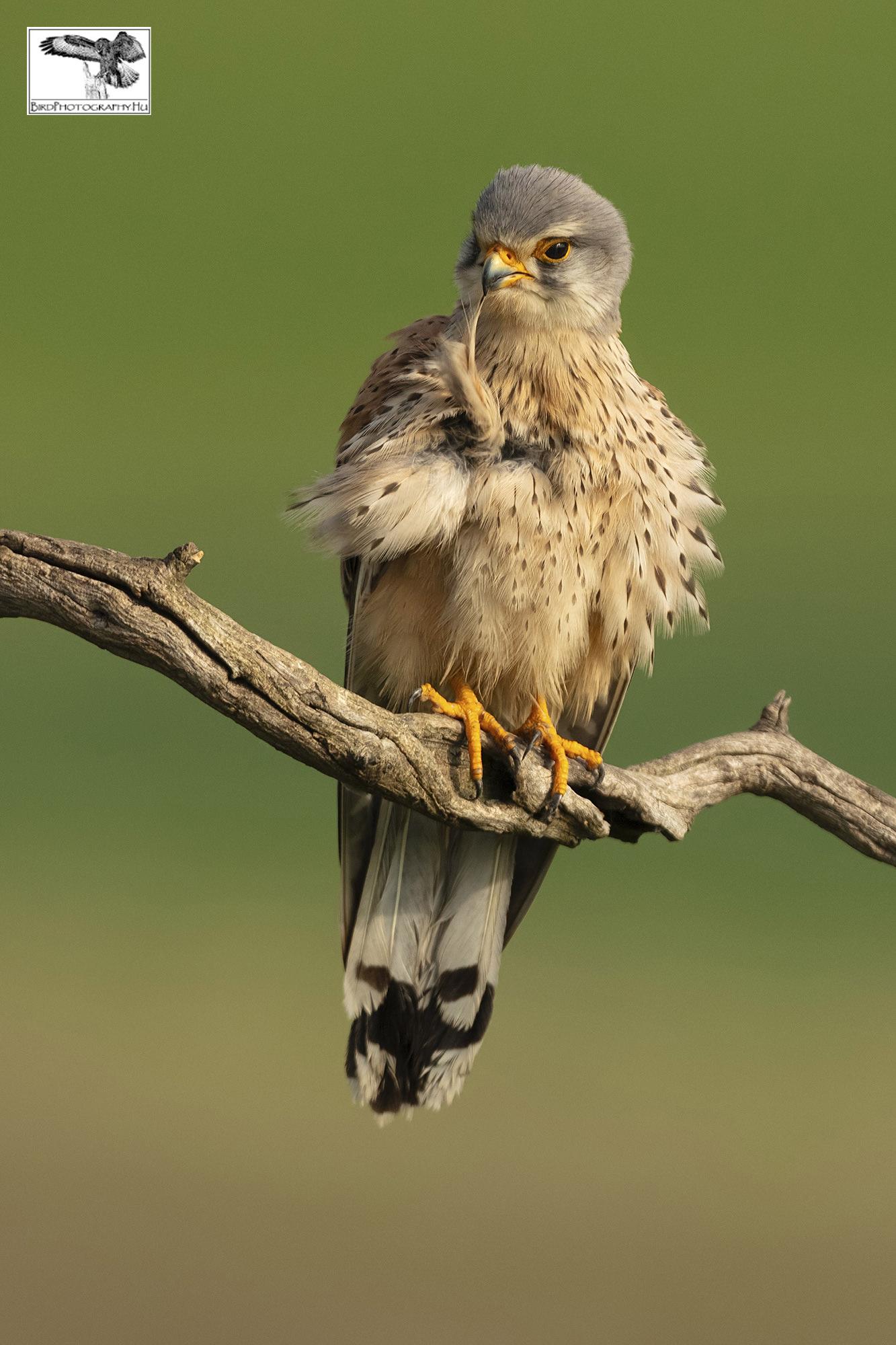 Vörös vércse, Common Kestrel, Turmfalke, Falco tinnunculus