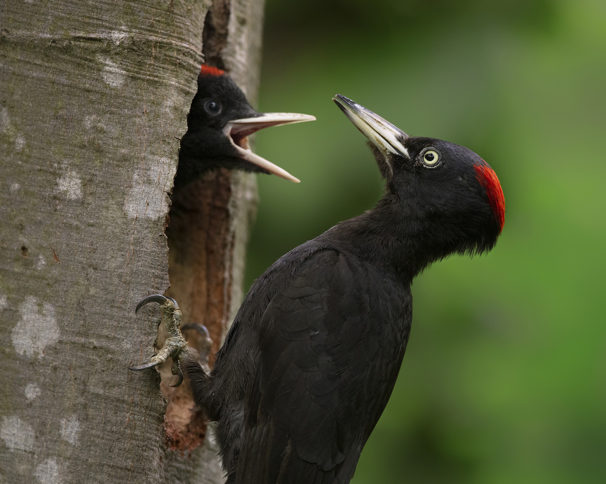 Fekete harkály, Black Woodpecker, Schwarzspecht, Dryocopus martius