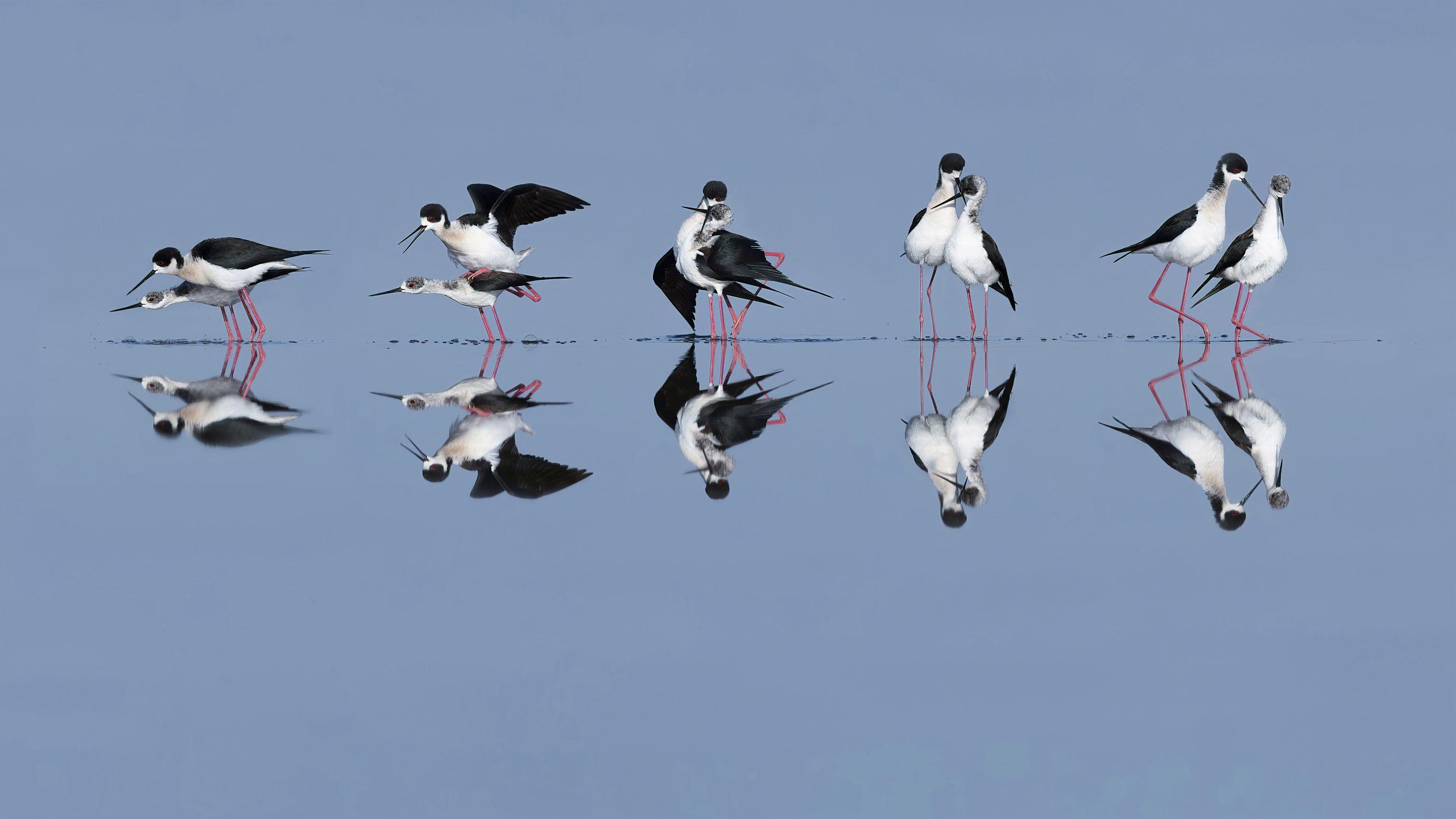 Gólyatöcs, Black-winged Stilt, Stelzenläufer, Himantopus himantopus