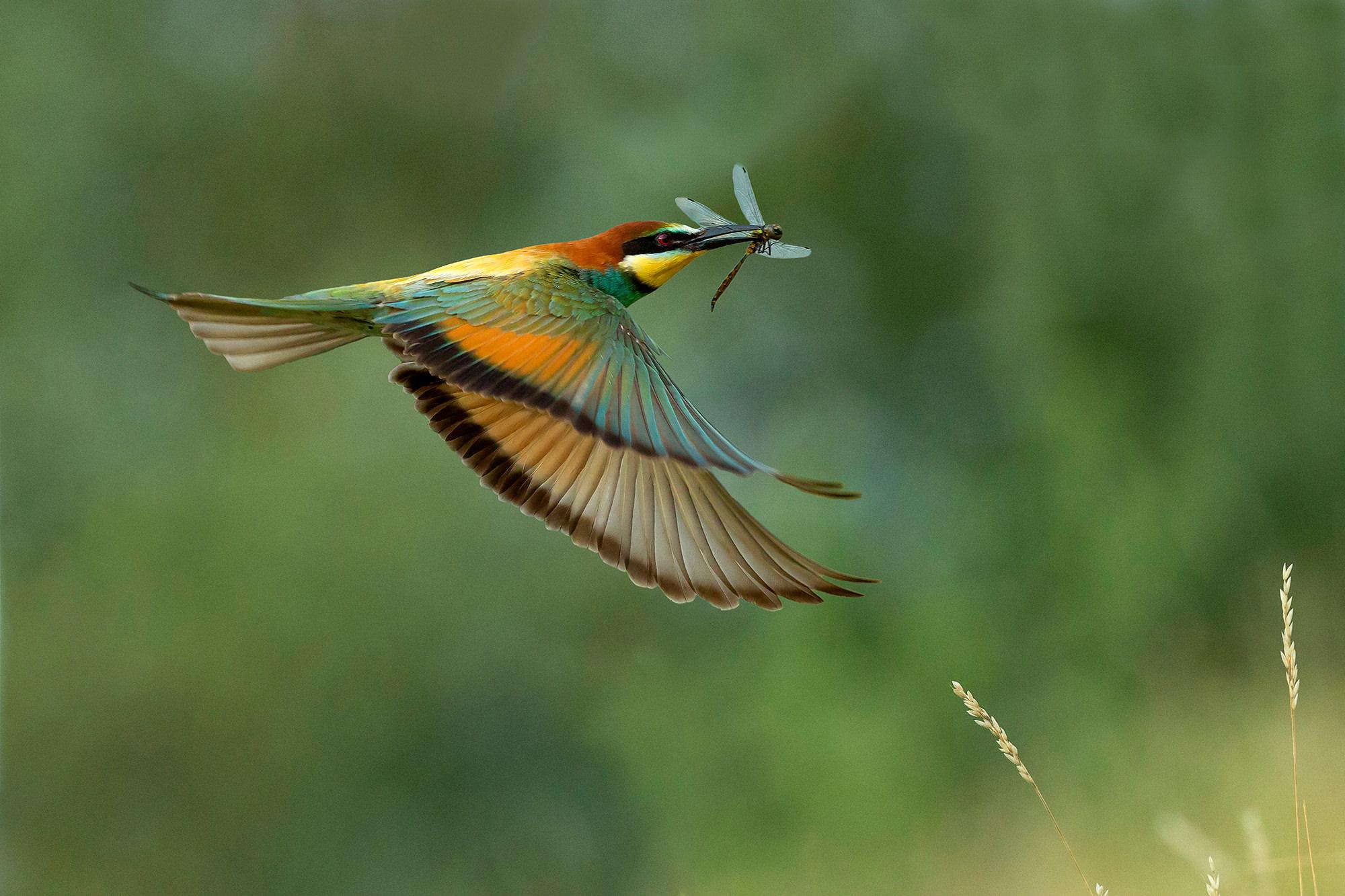 Gyurgyalag, European Bee-eater, Bienenfresser, Merops apiaster