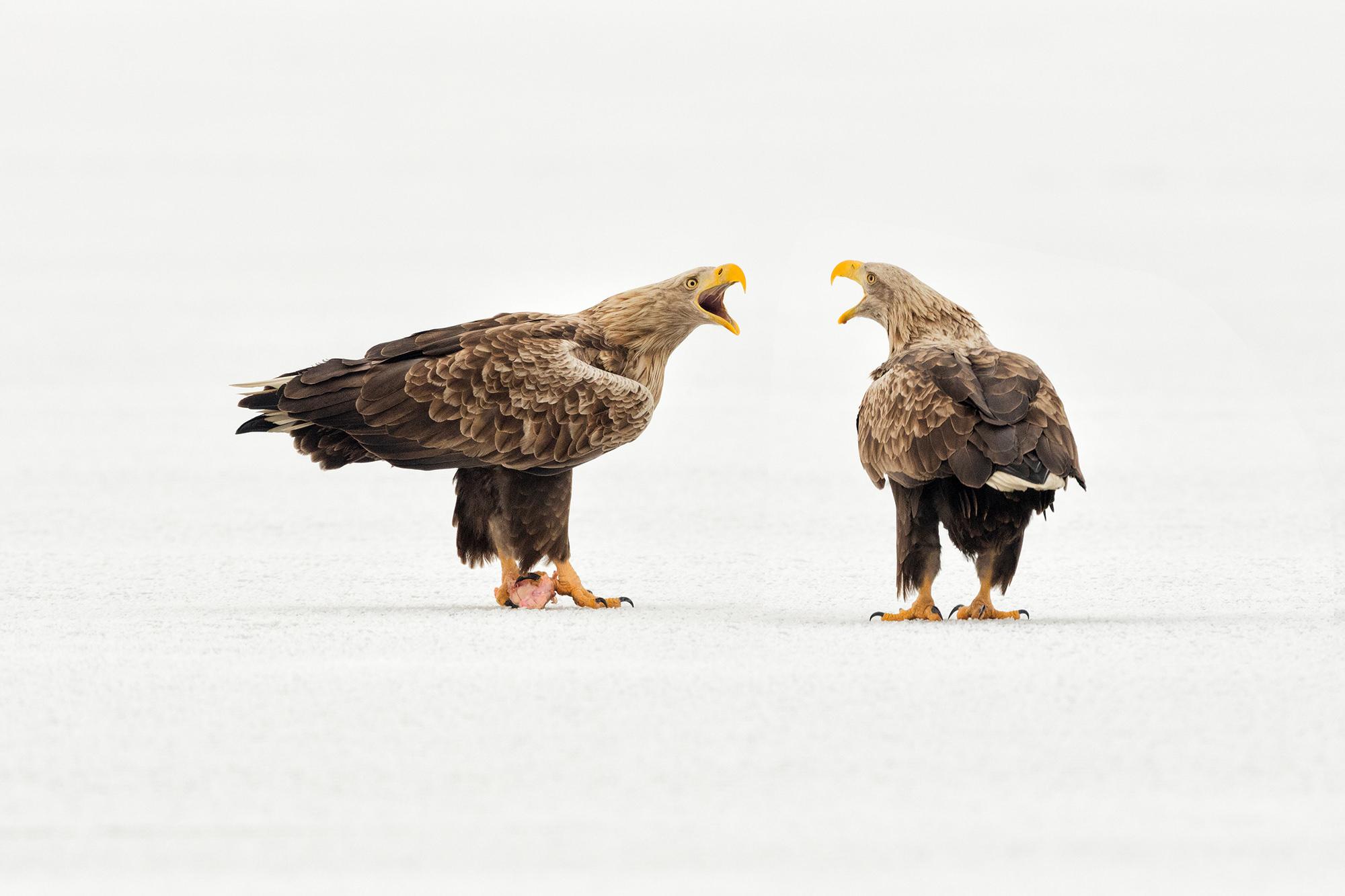 Rétisas, White-tailed Eagle, Seeadler, Haliaeetus albicilla