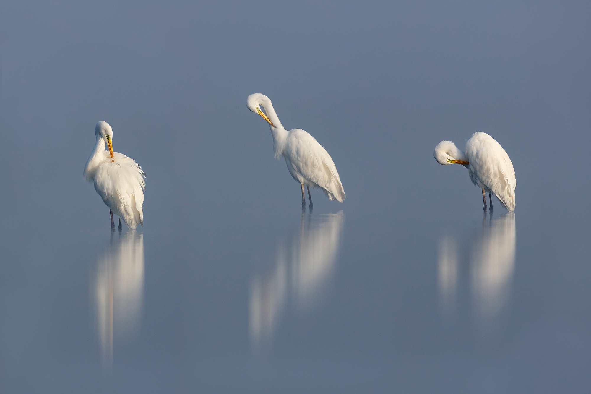 Nagy kócsag, Great White Egret, Silberreiher, Egretta alba
