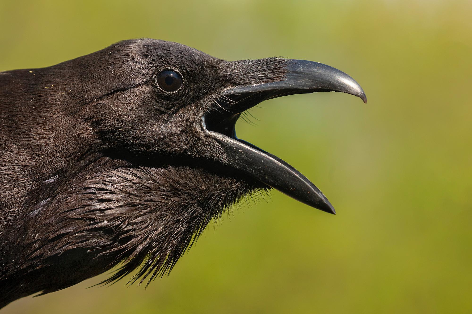 Holló, Raven, Kolkrabe, Corvus corax