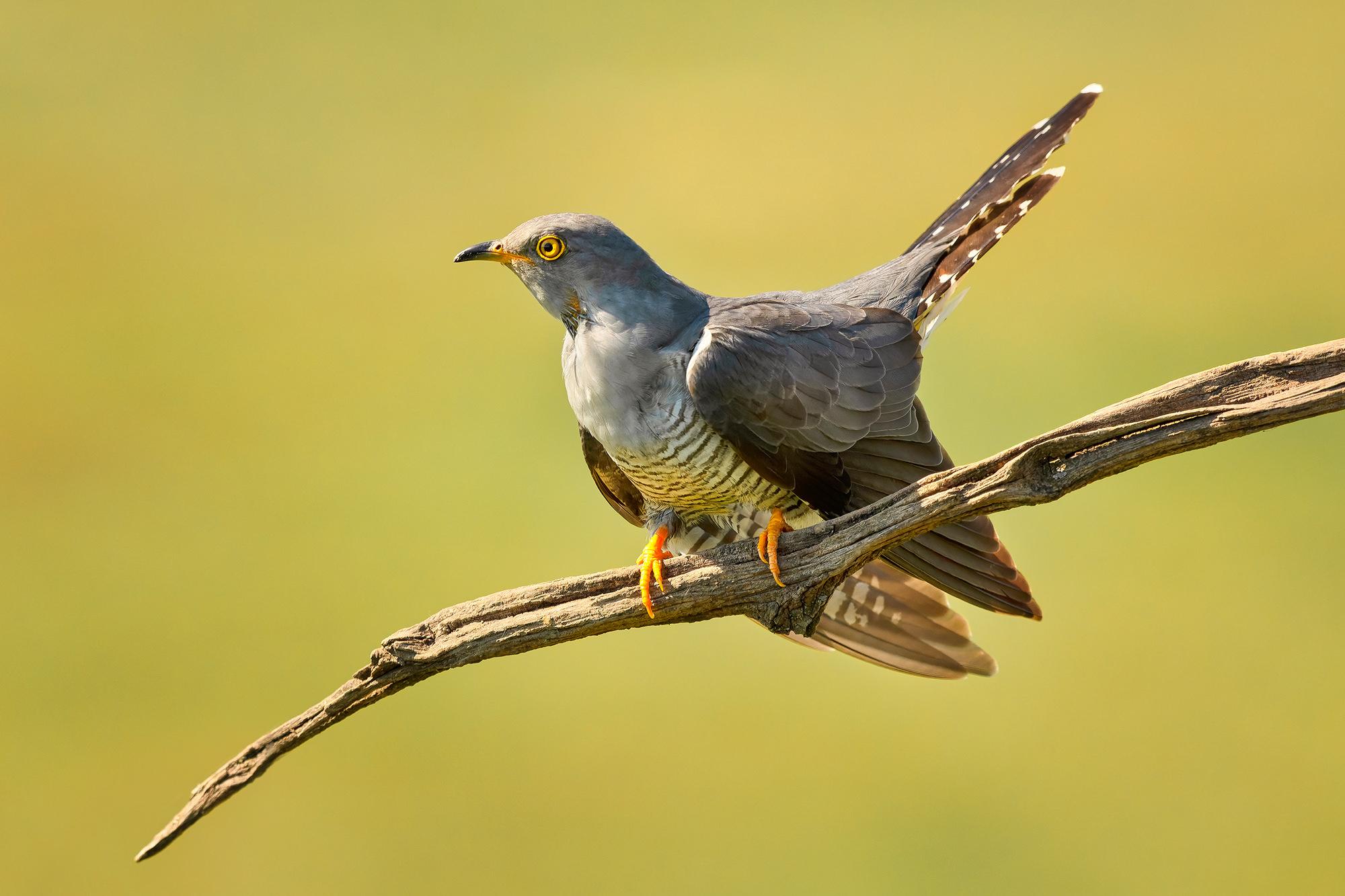 Kakukk, Common Cuckoo, Kuckuck, Cuculus canorus
